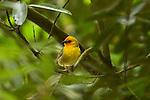 Cardinal jaune de Rodrigues Foudia flavicans .oiseau endemique