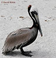0305-0876  Brown Pelican, Pelecanus occidentalis © David Kuhn/Dwight Kuhn Photography.