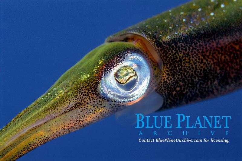 Caribbean reef squid, Sepioteuthis sepioidea, Saba, Netherlands Antilles, Caribbean Sea, Atlantic, Atlantic