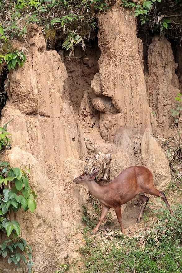 Red Brocket Deer (Mazama americana) at Blanquillo Clay Lick, Manu Biosphere Reserve, Peru. November.