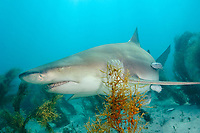 Lemon Shark - Negaprion brevirostris. Tiger Beach, Bahamas, Caribbean, Atlantic Ocean