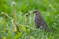 Brown-headed Cowbird (Molothrus ater ater), female, a spring migrant foraging in Central Park, New York City, New York.