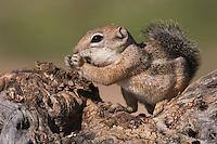 Harris's Antelope Squirrel,  Ammospermophilus harrisii, adult on branch,Tucson, Arizona, USA, September 2006