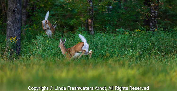 Two white-tailed fawns fleeing into the northern forest.