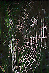 Spider on silk web in Pacific Northwest forest Oregon, spiders, web, Araneae, Chelicerate, arthorodods, eight legs, chelicerae, venom, arachinds, Antarctica, insects, silk, spider web, web, silk producing spigots, two tagmata, spinnerets, Pacific Northwest, Oregon, Fine Art Photography by Ron Bennett, Fine Art, Fine Art photography, Art Photography, Copyright RonBennettPhotography.com ©