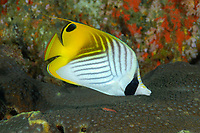 Threadfin butterflyfish, Chaetodon auriga, , Similan Islands, Andaman Sea, off the coast of Phang Nga Province, southern Thailand, Indian Ocean