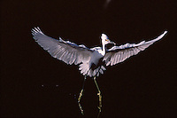 A Snowy egret (Egretta thula) during a landing.