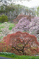 Acer palmatum var. dissectum; Cut leaf Japanese Maple tree, spring leaves unfolding with Magnolia x soulangeana, Winterthur Garden
