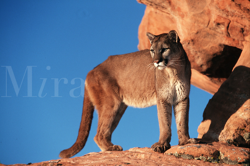 A mountain lion surveys its surroundings.