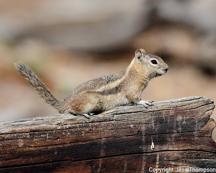 Chipmunk, Rocky Mountain National Park, Colorado
