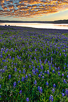 This was a vertical capture taken at the lake as the sunrise cast this golden glow over the clouds and lake with the bluebonnet landscape. This photo capture a tent  and camp site along the water on this early morning. Springtime in the Texas hill country is my favorite time because of all the wildflowers everywhere, especially when you come across a big field of bluebonnets like this.