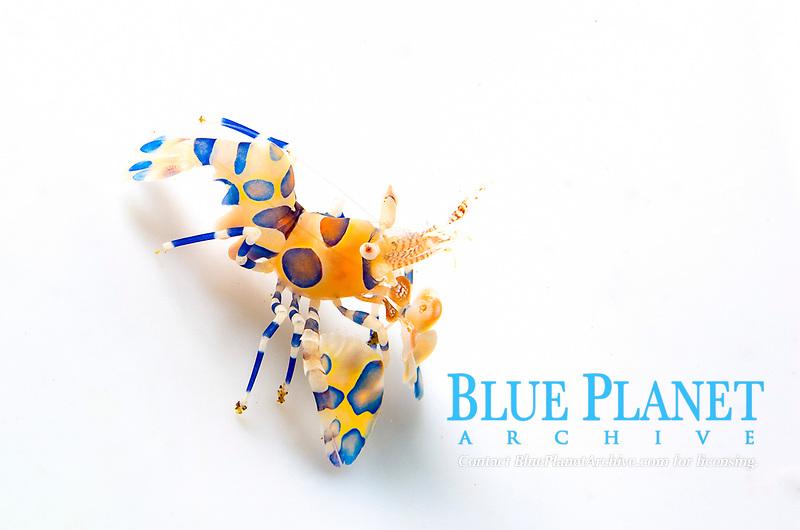 Harlequin Shrimp (Hymenocera picta). Indo-Pacific Ocean