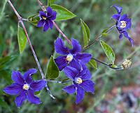 Clematis durandii (Durandii Clematis), flowering vine in Shelagh Tucker garden, Seattle, Washington