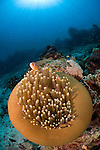 Magnificent anemone in feeding position, Heteractis magnifica, with Pink anemonefish, Amphiprion perideraion, Bunaken National Park, Manado, North Sulawesi, Indonesia, Pacific Ocean