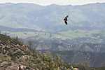 California Condor (Gymnogyps californianus) three year old male flying over chaparral, Pinnacles National Park, California