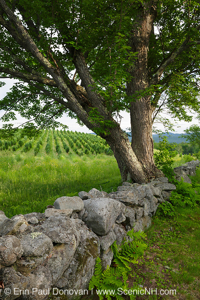 Stone wall at the Rocks Estate in Bethlehem, New Hampshire USA during the spring months.