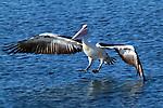 Touchdown. Australian Pelican - pelicanus conspicillatus