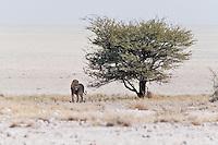 African Lion male on Pan, Etosha NP, Namibia