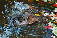 Beaver (Castor canadensis) chewing maple twigs, autumn, Nova Scotia, Canada.