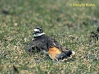 1K05-008z  Killdeer - adult broken wing act - Charadrius vociferus