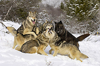 Timber Wolf (Canis lupus lycaon), adults, pack asserting hierarchy, dominance behaviour, in snow, USA, America, North America