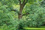 Ohio Buckeye tree at the Arnold Arboretum in the Jamaica Plain neighborhood, Boston, Massachusetts, USA