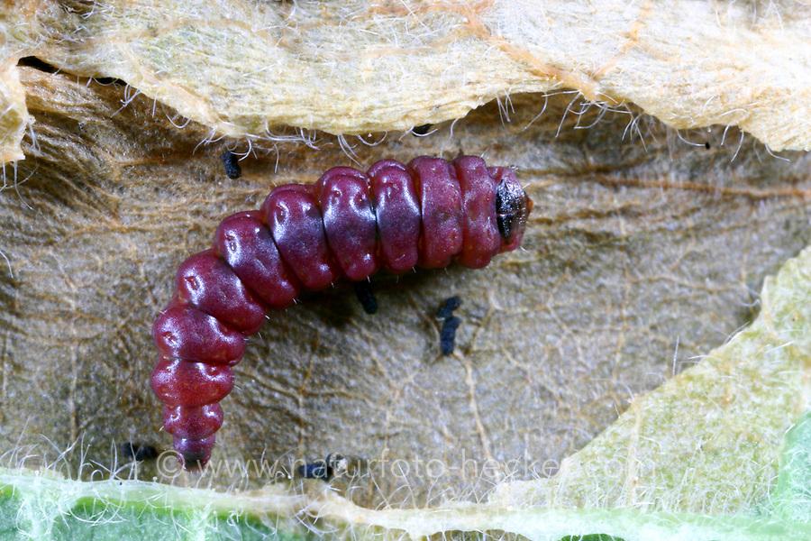 Geißblattgeistchen, Geißblatt-Geistchen, Geissblattgeistchen, Geissblatt-Geistchen, Raupe, Räupchen, Alucita hexadactyla, Alucita polydactyla, Phalaena hexadactyla, Twenty-plume Moth, twenty plume moth, Twenty-plumed Moth, Many-plumed moth, caterpillar, Geistchen, Alucitidae