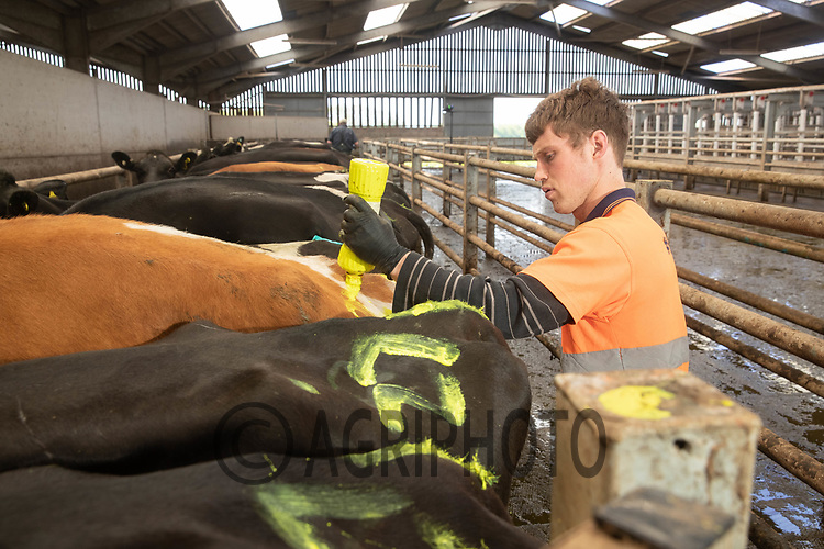 27-5-2021 Numbering cows with the date they where inseminated <br /> ©Tim Scrivener Photographer 07850 303986<br />      ....Covering Agriculture In The UK....
