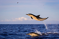 long-beaked common dolphins, Delphinus capensis (formerly lumped with short-beaked common dolphin, Delphinus delphis), leaping out of the water at high speed, off San Diego, California, USA, (Eastern Pacific Ocean)