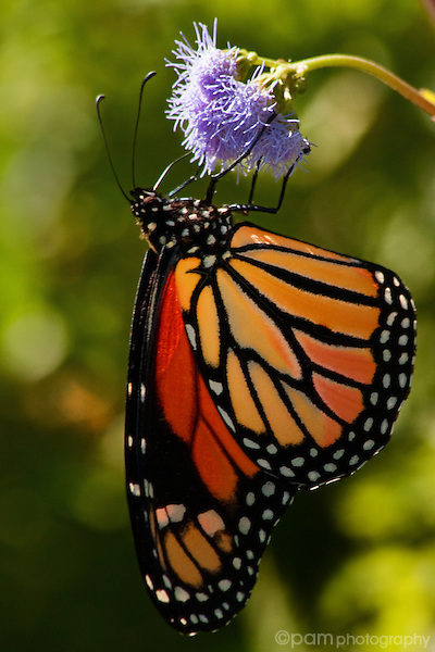 Close-up of monarch butterfly with single purple flower