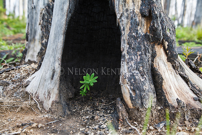 new growth of a lupine flower growing in the burned out stump of a tree after a wildfire in western montana forest