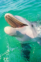 bottlenose dolphin, Tursiops truncatus, note teeth, wild but habituated, dolphins come to beg for food off boats, west coast of Florida, Gulf of Mexico, Atlantic