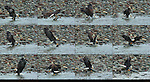 Bald Eagle Catching a Salmon and Dragging it to Shore, Squamish River, Brackendale Eagles Provincial Park, Vancouver, British Columbia