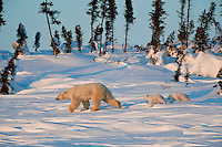 A mother polar bear leads her cubs to the location they will send their first night outside of the safety of their winter den as the setting sun paints the frozen tundra in golden light.