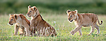 African Lion cubs (Panthera leo) playing - around 4 months old - Big Marsh, near Ndutu, Nogorongoro Conservation Area / Serengeti National Park, Tanzania.
