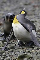 King Penguins, Aptenodytes patagonicus, threatening an antarctic fur seal pup Arctocephalus gazella that approaches too close on beach at Grytviken whaling station, South Georgia, Southern Ocean, Antarctica
