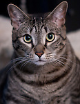 Positano the Tabby Cat posing for a portrait