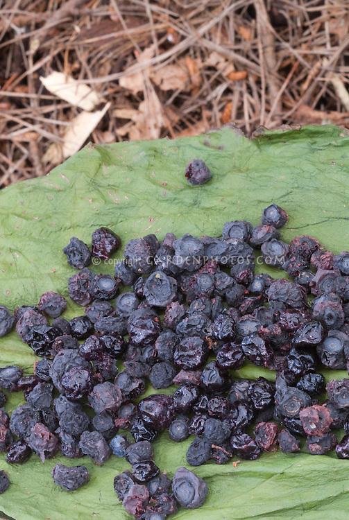 Dried Blueberries Vaccinium corymbosum berry fruit
