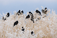 Flock of male Red-winged Blackbirds (Agelaius phoeniceus) in a frosty thicket. Lower Klamath National Wildlife Refuge, Siskiyou County, California. December.