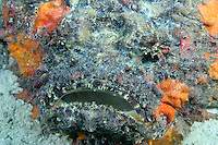 The stonefish, Synanceia verrucosa, is one of the most dangerous creatures on tropical reefs.  This species is capable of inflicting a painful, heart stopping wound with it?s venomous dorsal spines.  Mabul Island, Malaysia.<br />