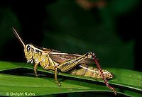 """OR03-050c   Grasshopper - short horned or """"true"""" grasshopper, two-striped grasshopper - Melanoplus bioittatus"""
