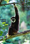 White-handed gibbon, Souteast Asia