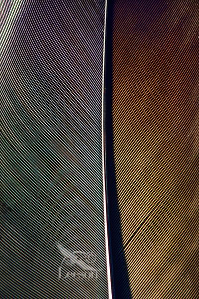Bald Eagle feather