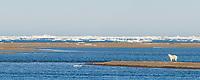 Polar bear on Barter Island, Kaktovik, Beaufort Sea, Alaska