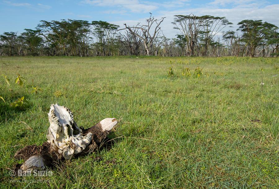 Skull of a Cape Buffalo, Syncerus caffer caffer, in Lake Nakuru National Park, Kenya
