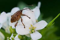 Rüsselkäfer, Rüssler, Curculio spec., Weevil, an Knoblauchsrauke, Alliaria petiolata