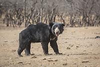 A Sloth Bear roaming through Zone 3 of Ranthambhore Tiger Reserve in Rajasthan, India