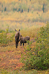A moose stands in the colorful autumn tundra with her calf in Denali National Park, Alaska.
