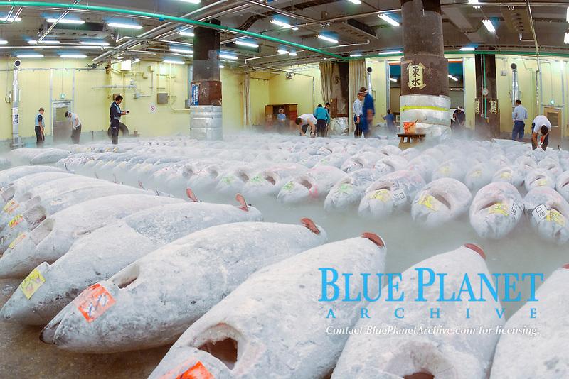 frozen bluefin, yellowfin, southern bluefin, and bigeye tuna, Thunnus thynnus, albacares, maccoyii, and obesus to be auctioned, Tsukiji Market, Tokyo, Japan, Pacific Ocean