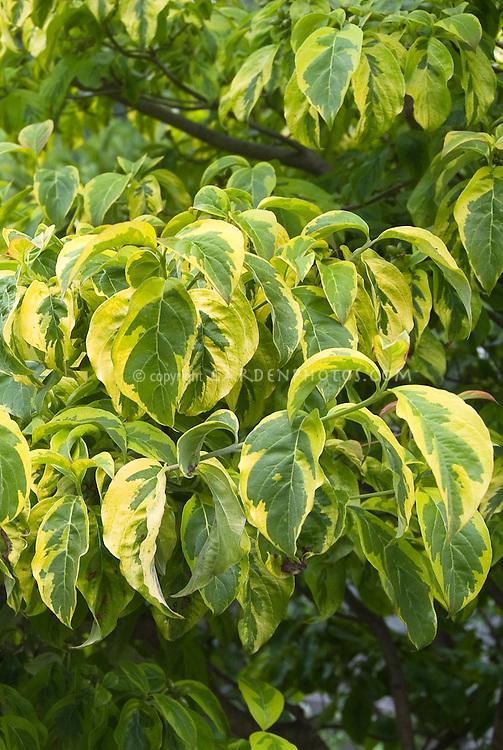Cornus florida 'Rainbow' variegated dogwood foliage